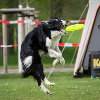 Canine Athletes: The Ouch We May Not See