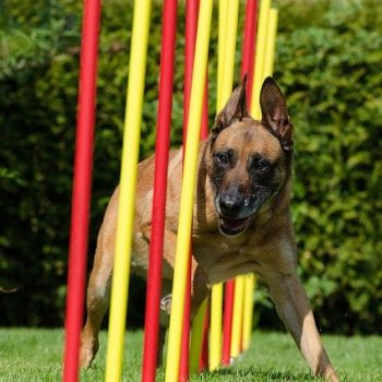 Hydration Tips for Performance Dogs